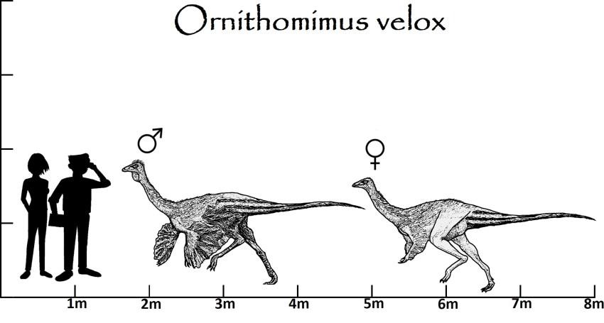 Ornithomimus Größenvergleich