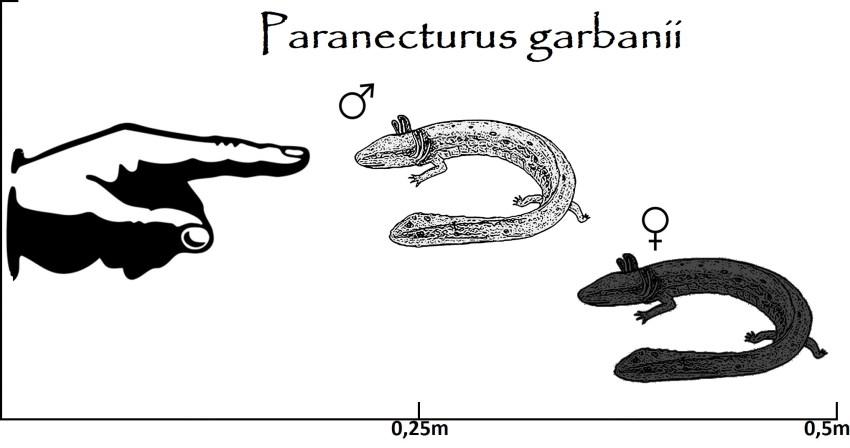 Paranecturus Größenvergleich