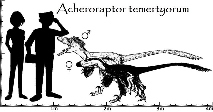 Größenvergleich Acheroraptor