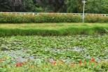 Lotus Plantation