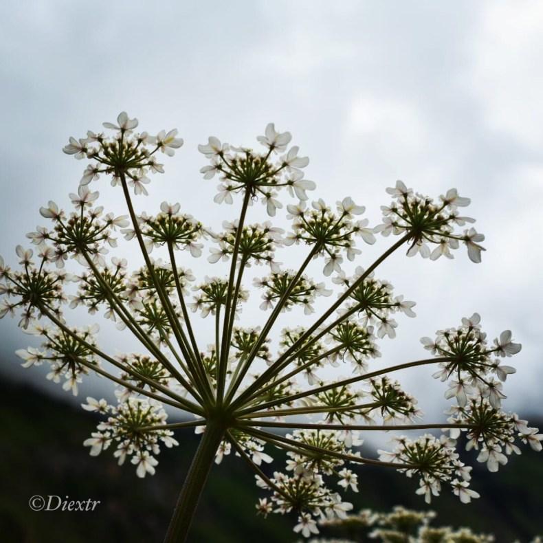 White leaf Hogweed
