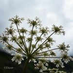 White leaf Hogweed