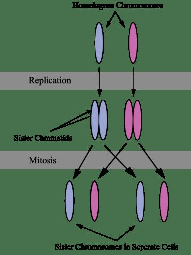 Key Difference - Chromosome vs Chromatid