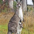 Difference Between Mammal and Marsupial
