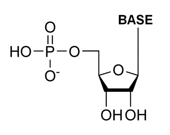 Difference Between a Ribonucleotide and a Deoxyribonucleotide