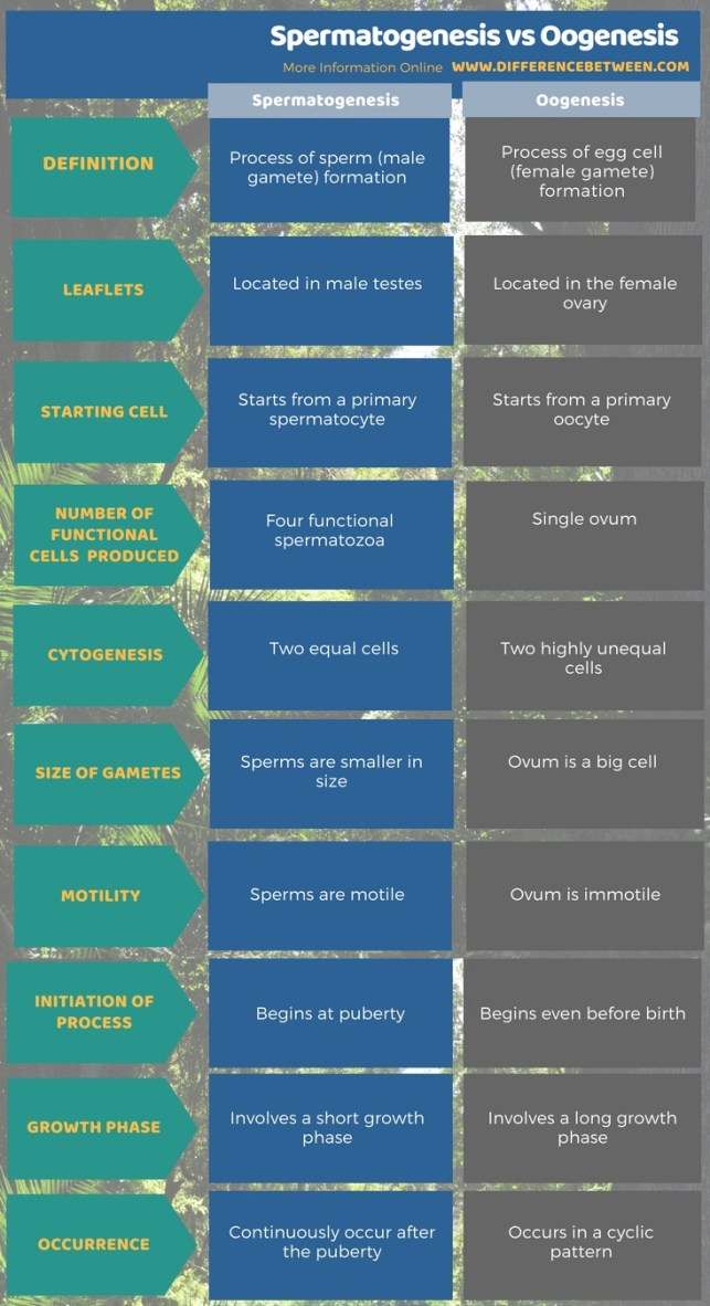 Difference Between Spermatogenesis and Oogenesis in Tabular Form