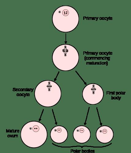 Difference Between Spermatogenesis and Oogenesis