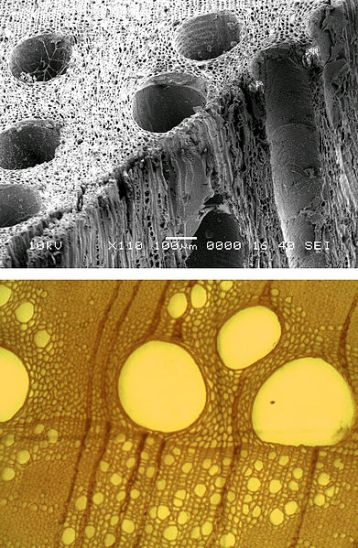 Difference Between Tracheids and Vessels