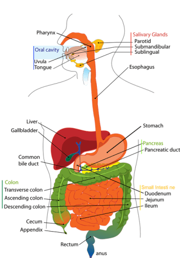 Difference Between Rat and Human Digestive System