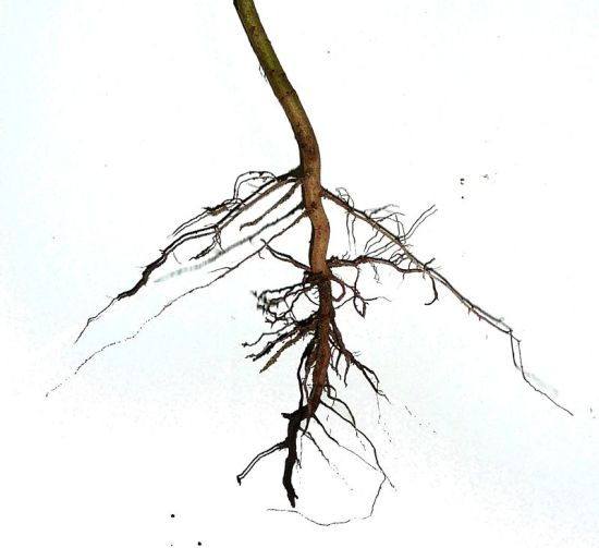 Key Difference - Tap Root vs Fibrous Root