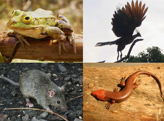 Key Difference - Tetrapods vs Amphibians
