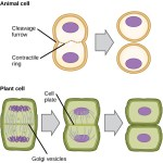 Difference Between Plant and Animal Cytokinesis