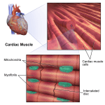 Difference Between Skeletal Muscle and Cardiac Muscle