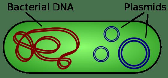 Key Difference - Genomic vs Plasmid DNA