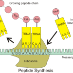 Difference Between mRNA and tRNA