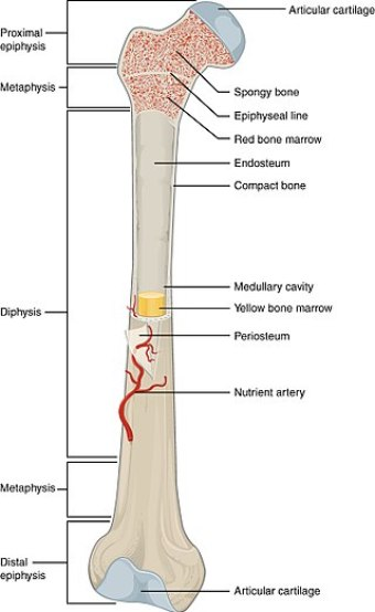 Key Difference Between Red and Yellow Bone Marrow