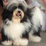 Difference Between Havanese and Coton de Tulear