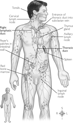 Difference Between Lymphoid Organs