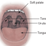 Difference Between Uvula and Epiglottis