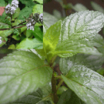 Difference Between Mint and Peppermint