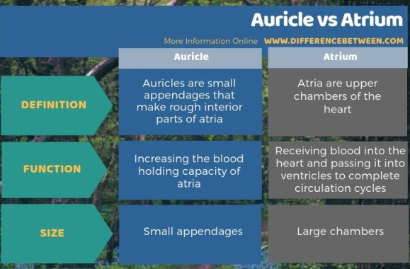 Difference Between Auricle and Atrium - Tabular Form