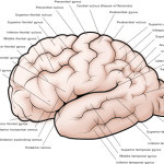 Difference Between Gyri and Sulci
