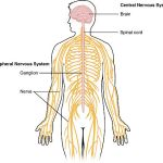 Difference Between Nerve and Vein