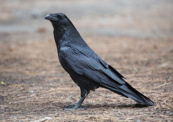 Raven vs Writing Desk