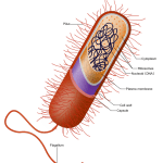 Difference Between Pili and Flagella