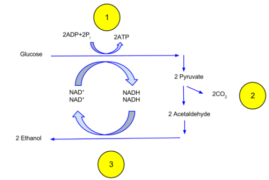 Difference Between Fermentation and Glycolysis