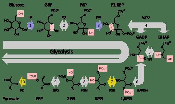 Key Difference - Fermentation vs Glycolysis