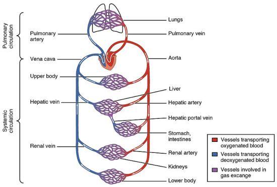 Key Difference - Oxygenated vs Deoxygenated Hemoglobin