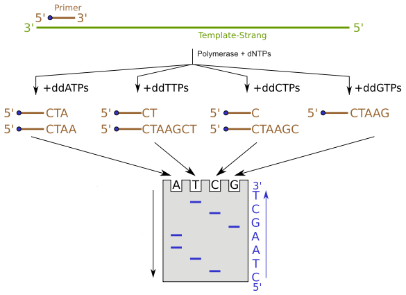 Difference Between Sanger Sequencing and Pyrosequencing - 1