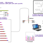 Difference Between Maxam Gilbert and Sanger Sequencing