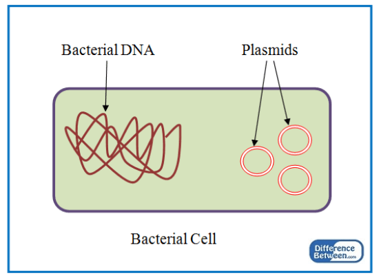 Key Difference - Plasmid vs Episome