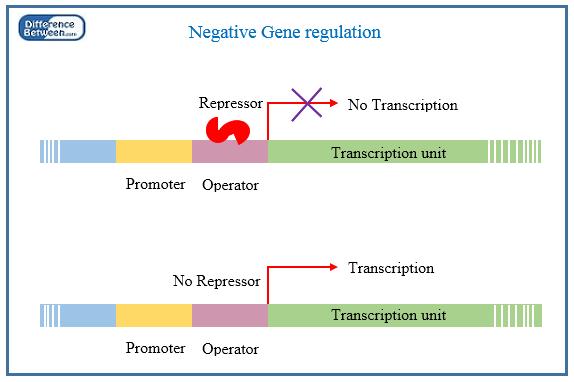 Key Difference - Positive vs Negative Gene Regulation