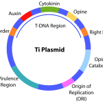 Difference Between Ti and Ri Plasmid