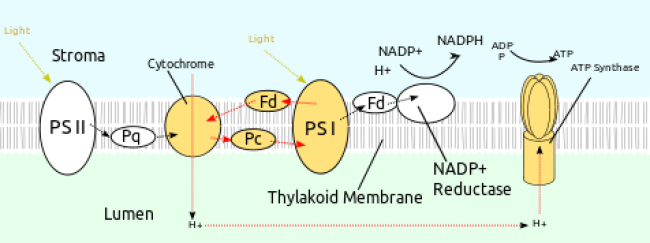 Difference Between Cyclic and Noncyclic Photophosphorylation