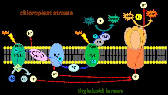 Key Difference - Cyclic vs Noncyclic Photophosphorylation