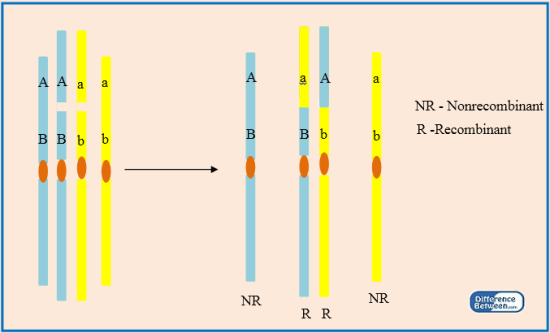Difference Between Recombinant and Nonrecombinant