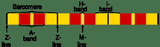 Key Difference - Myofibril vs Muscle Fiber