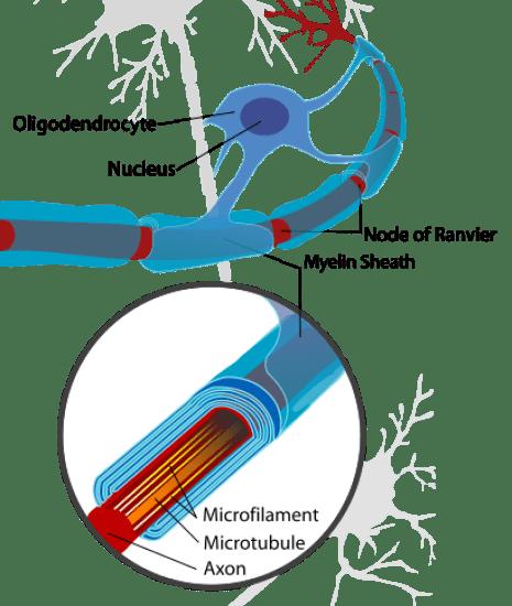 Key Difference - Oligodendrocytes vs Schwann Cells