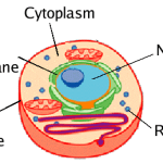 Difference Between Free and Attached Ribosomes