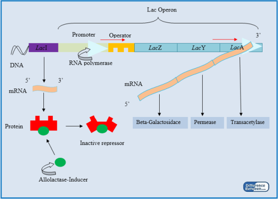 Key Difference - Inducible vs Repressible Operon