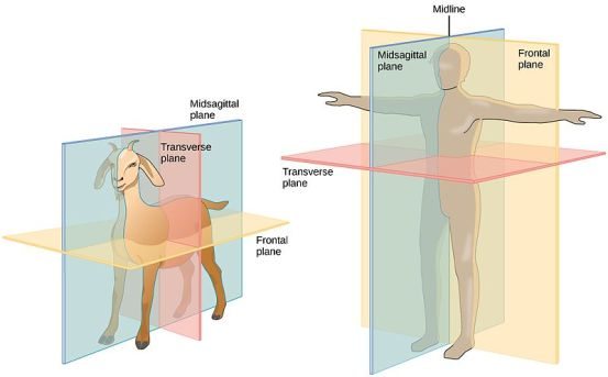 Difference Between Sagittal and Midsagittal