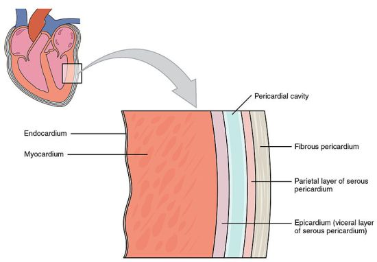 Key Difference Between Myocardium and Pericardium