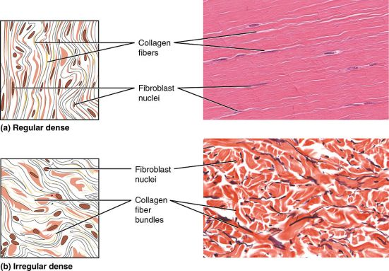 Difference Between Dense Regular and Dense Irregular Connective Tissue