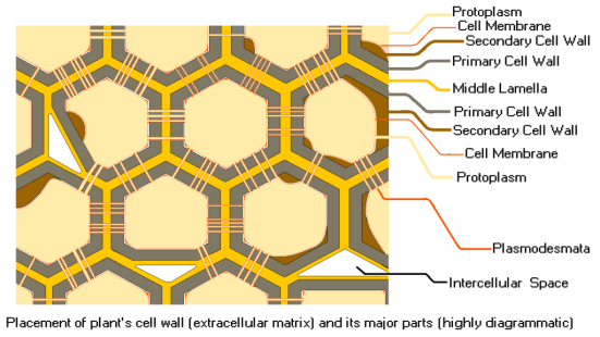 Key Difference Between Protoplast and Protoplasm