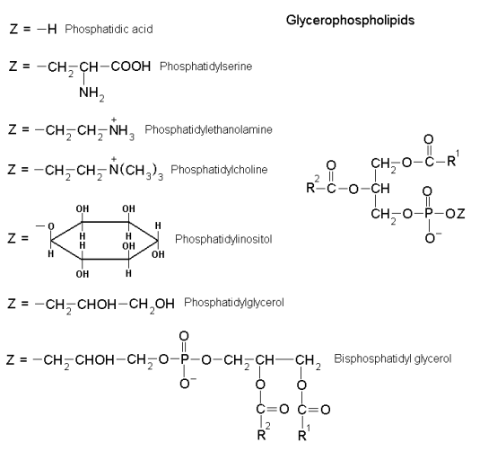 Difference Between Glycerophospholipids and Sphingolipids