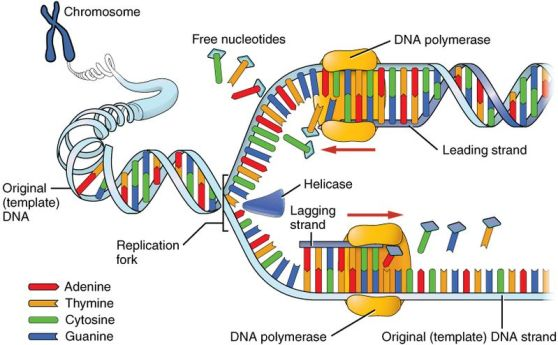Difference Between DNA and RNA Synthesis